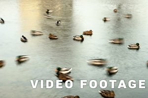 Ducks in pond town. Smooth blurred motion.  Timelapse shot