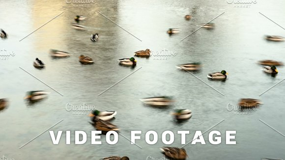 Ducks In Pond Town Smooth Blurred Motion Timelapse Shot