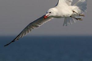 Audouin seagull