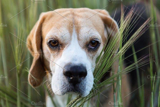 Beagle portrait - Animals