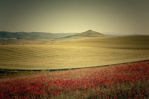 Fields of cereal and red poppies