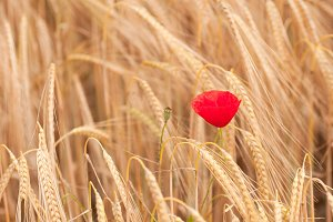 Red poppy in the field of dry cereal
