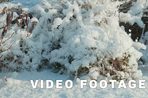 Dried flowers under the snow. Clean and frosty daytime. Smooth dolly shot