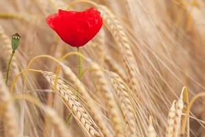 Red poppy in a field of dry cereal