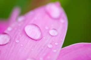 Raindrops in a pink flower petal