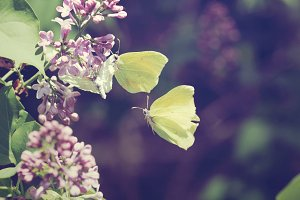 Two yellow butterfly and flower