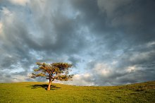 Lonely tree in the green field