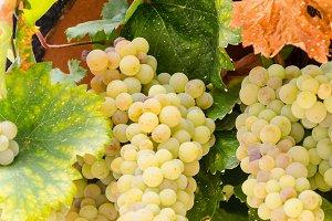 White vine
