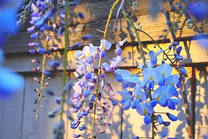 summertime wisteria