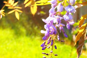 wisteria in the summer sun