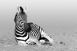Zebra. Equus quagga monochrome.