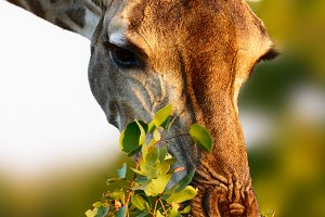 Giraffe close up in golden light