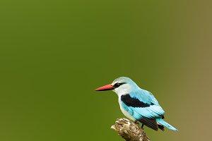 Woodlands kingfisher in Kruger Park