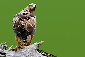 Tawny eagle with text space