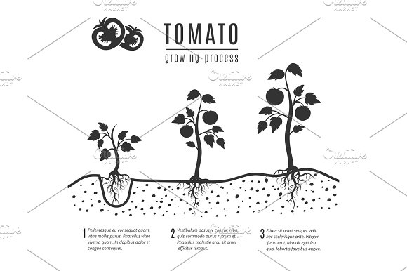 Tomato Plant With Roots Vector Growing Stages