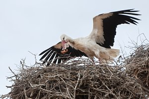 Stork in the nest with a leaf in its