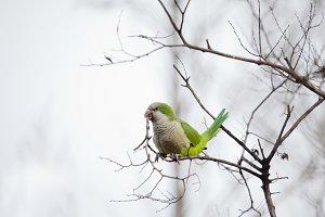 Urban parakeet