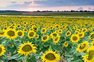 Field of sunflowers on a sunset II