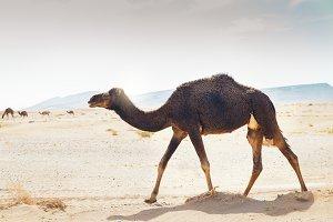 Sahara desert dromedary.