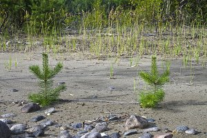 Two small pine trees on sandy beach