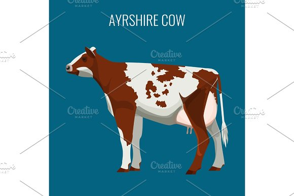 Ayrshire Cows Isolated On White Vector Illustration Of Dairy Cattle