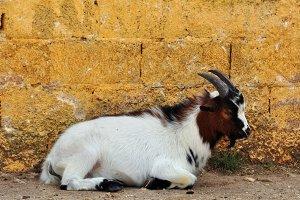 African Pygmy Goat