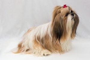 Small dog breeds Shih Tzu