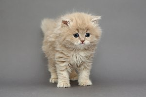Little British kitten beige color