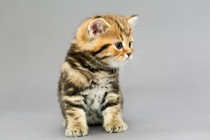 Little British tabby kitten