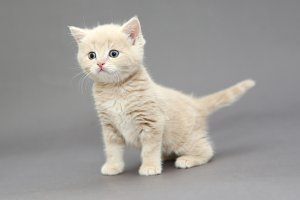 Little British kitten cream color