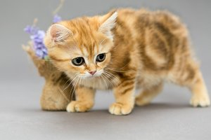 British kitten red marble colors