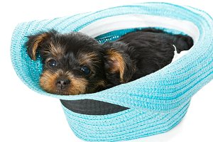 Little Yorkshire Terrier puppy