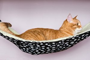 red Cat is sleeping in the hammock
