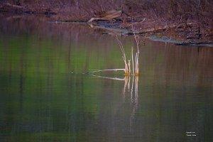 Reeds in Spring