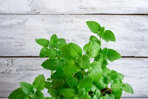 Bush of fragrant mint, grown at home in a pot