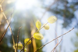 Spring sunny blurry rays forest background with a willow twig