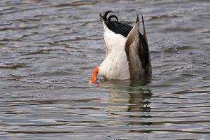 Mallard Duck Feeding