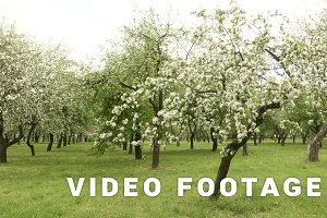 Apple tree  farm. Smooth slider shot. Clean and bright daytime