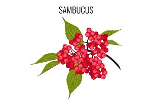 Sambucus ayurvedic medicinal herb, elder or elderberry isolated on white.