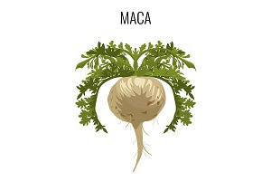 Maca ayurvedic medicinal herb isolated. Root vegetable medicinal plant