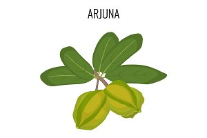 Arjuna ayurvedic medicinal herb isolated. White Marudah vector illustration