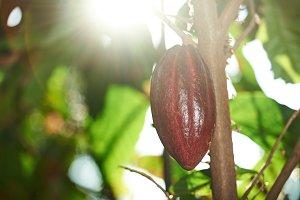 One cocoa pod