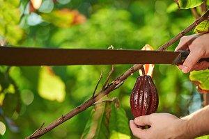 Cutting with machete red cocoa pod