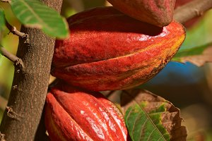 Closeup of red cocoa fruits