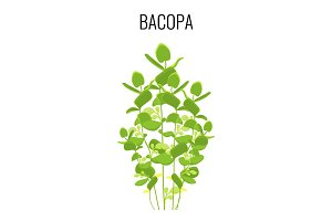 Bacopa ayurvedic aquatic plant isolated on white background.