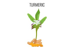 Turmeric ayurvedic herb with rhizomes isolated on white background.