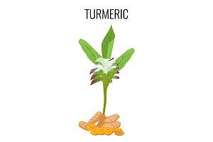 Turmeric ayurvedic herb with rhizomes isolated on white background.