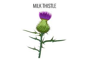 Milk thistle isolated on white background. Blessed milkthistle,