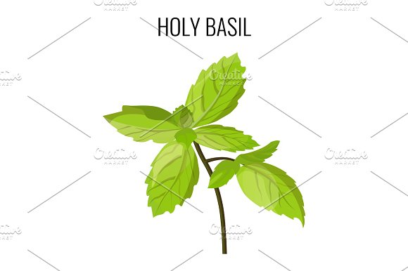Holy Basil Isolated Stem With Green Leaves