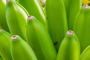 Bunch of bananas growing